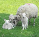 Free Photo - Sheep Family