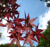 Free Photo - Japanese Maple