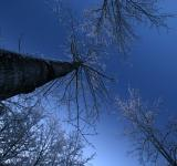 Free Photo - Tall trees looking up to the morning sky
