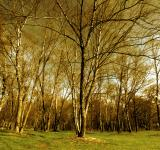 Free Photo - Birch tree forest