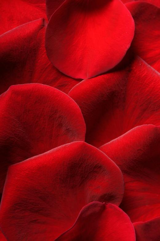 Roses Petals - Free Red Stock Photos