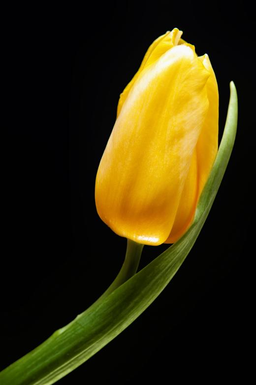 Yellow Tulip Free Photo