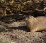 Free Photo - Prairie Dog