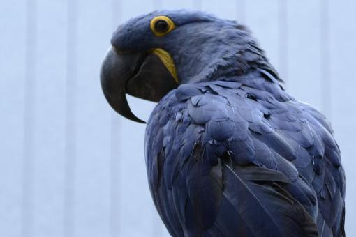 Blue Parrot - Free Stock Photo