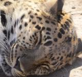 Free Photo - Leopard napping