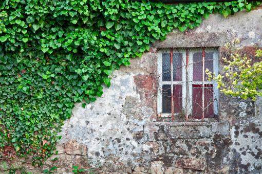 Ivy Covered Wall - Free Stock Photo