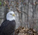Free Photo - Bald Eagle