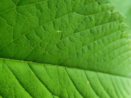A green leaf - Free Stock Photo