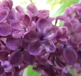 Free Photo - Lucky lilac