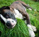 Free Photo - Boxer dog lying on grass