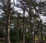 Free Photo - Graveyard pines