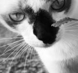 Free Photo - Burmese Cat Black and White