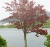 Free Photo - Red Maple
