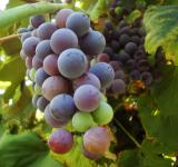 Free Photo - Grape vine with fruits
