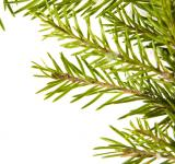 Free Photo - Fir branch