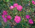 Free Photo - Pink Roses in Late Fall