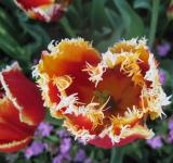 Free Photo - Magnificently beautiful orange tulip