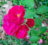 Free Photo - December Roses