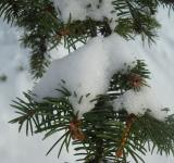 Free Photo - Snow covered fir tree