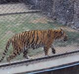 Free Photo - Royal Bengal tiger at Alipur zoo