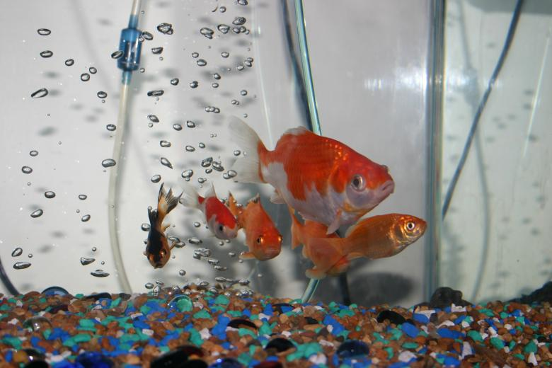 Free Stock Photo of Gang of Goldfish Created by Clifford M. Kinsman