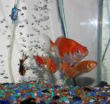 Free Photo - Gang of Goldfish