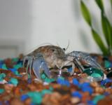Free Photo - Montana Crayfish