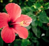 Free Photo - Red hibiscus flower