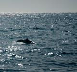 Free Photo - Dolphin jumping in ocean