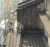 Free Photo - Indian lemur