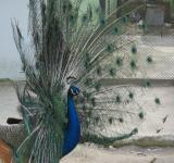 Free Photo - Colorful peacock