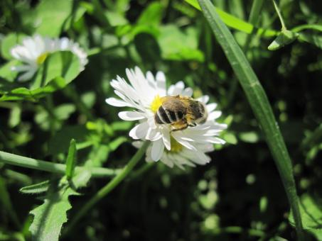 Bee on a white flower - Free Stock Photo