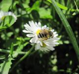 Free Photo - Bee on a white flower