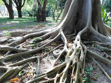 Long Tropical Tree Roots - Free Stock Photo
