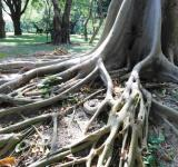 Free Photo - Long Tropical Tree Roots