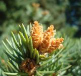 Free Photo - Young fir cones