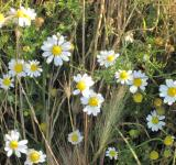 Free Photo - Little daisy flowers