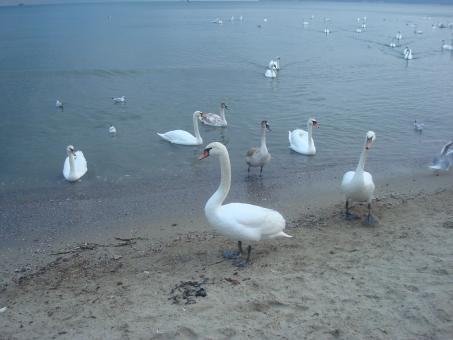 Swans at the Black Sea cost - Free Stock Photo