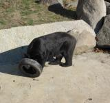 Free Photo - Playing black bear