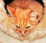 Free Photo - Orange cat