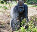 Free Photo -  Gorilla