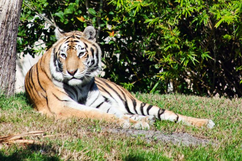 Free Stock Photo of Tiger Created by Geoffrey Whiteway