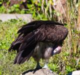 Free Photo - Vulture