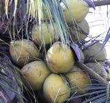 Free Photo - Coconuts Growing on a Tree