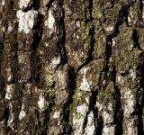 Free Photo - Oak bark