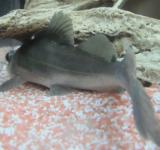 Free Photo - Sperata or catfish from behind