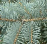 Free Photo - Fir branches