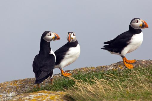 Puffin - Free Stock Photo