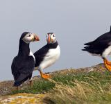 Free Photo - Puffin
