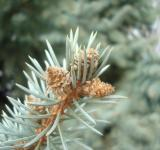 Free Photo - Fir cones close-up